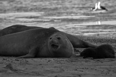 Lobos marinos 7 (isabel muskiz) Tags: lobos marinos animales animals argentina sea lions puerto madryn peninsula valdes mar patagonia