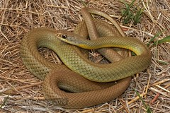 yellow-bellied racer (Coluber constrictor flaviventris) (Kevin Messenger) Tags: yellowbellied racer coluber constrictor flaviventris pottawatomieco kansas snake harmless nonvenomous pottawatomie pott county canon wildlife 2016