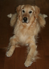 Sunny 14/52 (Lianne (calobs)) Tags: 52 weeks for dogs goldenretriever