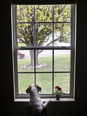 2017 THROWBACK CHALLENGE, WEEK 12 : ARCHITECTURE – WINDOWS LOOKING OUT (shannon_blueswf) Tags: photochallenge photochallenge2017 dog window architecture flower view beagle cute cutie hound nikon nikonphotography nikond3300