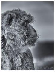 The Watcher (D.K.o.w) Tags: gibraltar naturereserve barbarymacaque therock mono blackandwhie black white bw