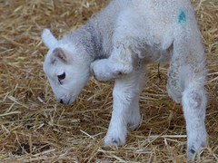 ❤️ Why does it Feel so Itchy? (caren (Thanks for 1.5 Mio+ views)) Tags: sheep lamb newborn newbornlamb wales ceredigion cymru baby farm primavera spring