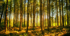 Tewin Wood (nigdawphotography) Tags: tree trees pine forest trunk trunks tewin wood woods hertfordshire herts
