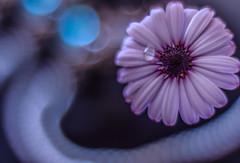 Shine for me.. (Hanna Tor) Tags: flower plant nature lyrics song light art bokeh hannator 7dwf