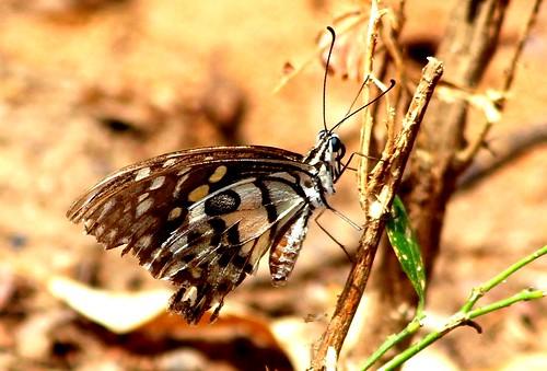 IMG_0084/Thailand/Koh Samui Island/Very damaged  Papilio Demoleus malayanus/male