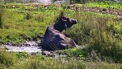 "NEPAL, Royal Chitwan-Nationalpark, ein Schlammbad, 15394/8175 (roba66) Tags: textur reisen travel explore voyages roba66 visit urlaub nepal asien asia südasien ""royal chitwannationalpark"" nationalpark landschaft landscape paisaje nature natur naturalezza tier tiere animal animals creature büffel buffalo wasserbüffel"