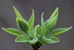 Fliederzwillinge - Elder twins (ralfkai41) Tags: spring pflanze bush frühling blätter natur makro plant macro elder leafs flieder syringa strauch stack outdoor nature