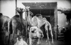 Camels Chillin' (Livid Moments) Tags: 35mm holga vintage unedited aesthetic film photography camel market texture dust egypt cairo street grunge bw streetscenes streetscene scanned ephemeral moments blackandwhite contrast
