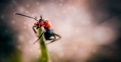 A very aggressive ant. © ® (The Sergeant AGS (A city guy)) Tags: ants macro experiment