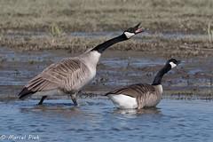 Biesbosch (CapMarcel) Tags: biesbosch goose geese duck canadian nikon d500 500mm