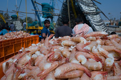 Shrimp, Lots of it (naren-photography) Tags: vizag visakhapatnam harbor fishing trawler ribbonfish shrimp yellow blue ricoh gr ii street india