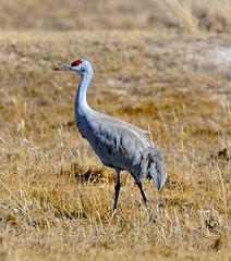 The Guard (DocNordic) Tags: cranes sandhillcranes montevistanationalwildliferefuge refuge colorado migration sedge spring