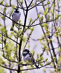 Two In The Bush-HSS! (Warming Up Again :)) Tags: sliderssunday sparrows branches nmolivetree green birds males backyard