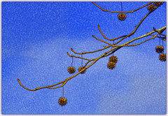 Seed Pods (karith) Tags: tree seedpods prickly round hanging minimalistic nature karith photoshopped
