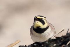 Shorelark (Horned Lark) (Chris B@rlow) Tags: eremophilaalpestris shorelark hornedlark lark bird birds nature northumberland canon7dmarkii sigma150600sport wildlife beach