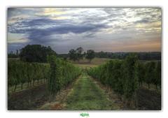 LE PERIGORD POURPRE / MONFAUCON (DAMET) (3) (régisa) Tags: périgord pourpre dordogne monfaucon damet vigne vineyard viticulture vignoble neworder