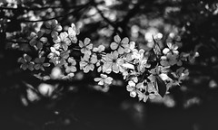 in the shade (gian_tg) Tags: cherryblossom flowers bokeh 7dwf hmbt monochrome blackwhite dof light shade illuminated