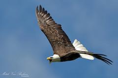 Bald Eagle In Flight (Mitch Vanbeekum Photography) Tags: flying eagle baldeagle bald nj haliaeetusleucocephalus hopatcong baldeagleinflight thewonderfulworldofbirds canon5dmkiii canonef500mmf4is canon14teleconvertermkiii