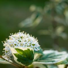 Delicate flowers (Jonne Naarala) Tags: flower home closeup finland gr ricohgr 1x1