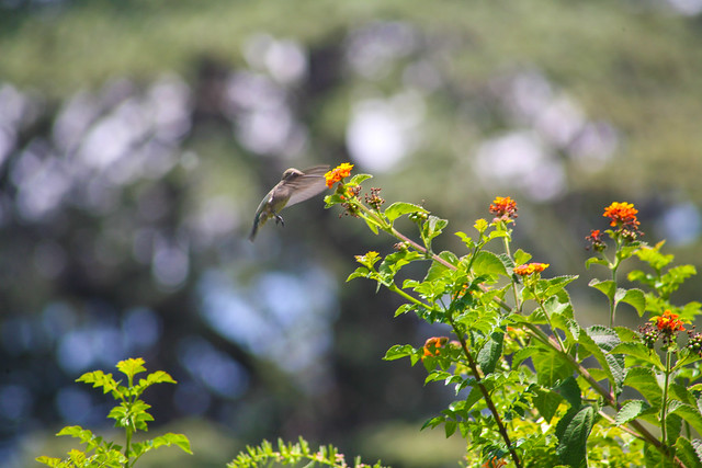 Hummingbird_at_Geek_Hill_2013-436