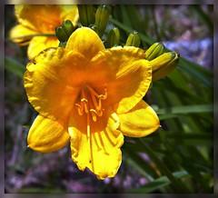 Stella (MissyPenny) Tags: flower yellow garden pennsylvania daylily buckscounty bristolpennsylvania pdlaich