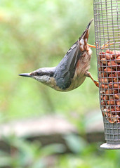 Nuthatch (Steve Lane - Birds and stuff) Tags: nuthatch gardenbirds hertfordshirebirds