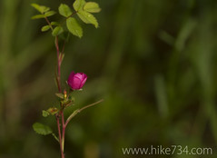 "Wild Rose • <a style=""font-size:0.8em;"" href=""http://www.flickr.com/photos/63501323@N07/9102726083/"" target=""_blank"">View on Flickr</a>"