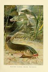 Anglų lietuvių žodynas. Žodis electric catfish reiškia elektrinis šamas lietuviškai.