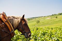 Burgundy, France (Marielle B-R) Tags: red horse france wine handsome grand cru beaune marielle reiersgard