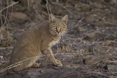 Wildcat Dusternbrook Namibia TY_2721 (YOYO182) Tags: africa namibia etosha africanwildcat dusterbrook