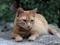 Young red cat (Yalitas) Tags: pet cats cat kat feline chat kitty gato felino katze katzen kot kedi kass redcat gatta kotka  kocka  katte  canon60d katzchen kottur canoneos60d