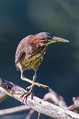 Green Heron Juvenile (Bill7870) Tags: bird heron nature canon geotagged pennsylvania pa nwr greenheron johnheinznwr canon400mmf4do canon7d