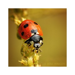 LADY IN RED (Lucky Del) Tags: uk macro nature insect nikon wildlife sigma ladybird 70300mm d90 derekmonaghan