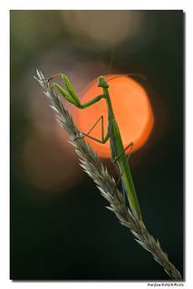 Mantis Religiosa - Mante Religieuse #7