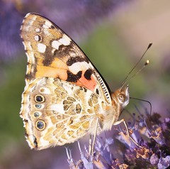 Painted Lady butterfly (ekaterina alexander) Tags: pictures summer vanessa england nature gardens lady butterfly garden photography sussex estate painted butterflies national trust british alexander cynthia nymans cardui ekaterina