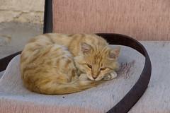 Turkish Cats 14 (Pablo Rodriguez M) Tags: cat turkey feline chat asia europa europe türkiye gato felino neko kedi turquía