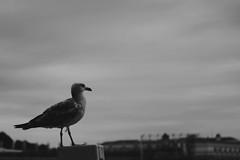 Seagull (milovanov) Tags: blackandwhite bw italy canon 50mm seagull vaticano