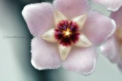 Hoya carnosa - Fiore di cera #3 (Celeste Messina) Tags: pink stella flower nature star petals nikon focus colours pastel magic rosa natura fiore petali colori corolla hoyacarnosa hoya celeste magia meraviglia pastello fioredicera d5000