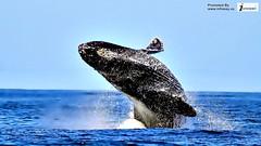 Humpback whale wallpaper (Infoway LLC - Website Development Company) Tags: wallpaper beautiful wonderful nice superb awesome images exotic hd illustrator incredible breathtaking classy mindblowing underwaterpicture softwaredevelopmentcompany ecommercewebdevelopment cartoondolphin whaleswallpaper closeupofakillerwhale whalesharkwallpaper romanticdolphinwallpaper humpbackwhalewallpaper dophinswallpaper thedolphinsstar bigwhaledivingunderwater