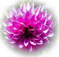 _13L5150 (5816OL) Tags: flowers dad vacations dahlias filoli california2013