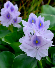 Double Vision (swentzy87) Tags: white plant flower water purple hyacinth