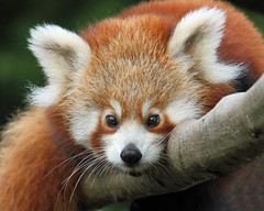 Baby Red Panda (Buggers1962) Tags: red portrait nature face animal closeup canon zoo eyes panda close wildlife redpanda colchester colchesterzoo greatphotographers itsazoooutthere canon7d highqualityanimals
