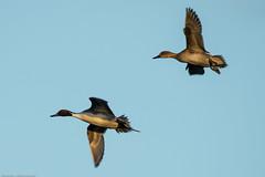 Pintail duck (WaterBugsPics) Tags: bird flying duck flight winner pregame slimbridge pintail
