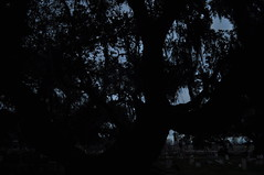 Holt- predawn tree