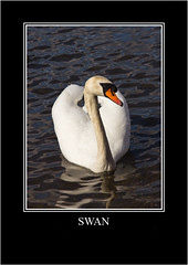 Swan (newpeter) Tags: heron birds animals stag wildlife gulls tiger bongo butterflies ducks deer swans leopard rhino otter tigers rabbits creatures otters owls meerkats leopards