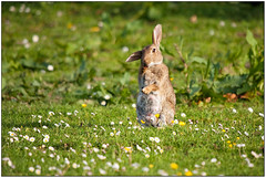 """Cleaning"" by 3,6,9 Seconds of Light (3,6,9 Seconds of light) Tags: flowers summer rabbit bunny feet grass paws washing easterbunny"
