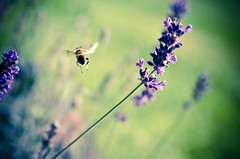 """Wheee!"" said the bee. (Tberga|) Tags: flowers summer netherlands nederland bee zomer nectar groningen bij lavendel bedreigd zeldzaam"