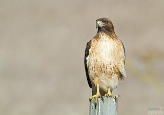 Red-tailed hawk, Buteo jamaicensis San Simeon, California