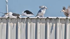 Mystery Gull? (Bill Bunn) Tags: portland gulls maine
