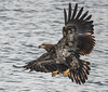 American Bald Eagles 24 (Jan Crites) Tags: bird nature river flying fishing nikon symbol zoom lock dam sigma iowa raptor mississippiriver february fighting soaring eagles birdofprey chasing 2014 d600 nationalsymbol leclaire americanbaldeagles lockanddam14 150500 jancritesphotography